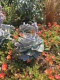 succulent Fotografia de Stock