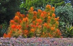 succulent Foto de Stock