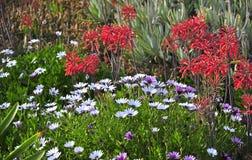 succulent Imagens de Stock Royalty Free