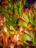 Succulent alpine Stock Photography