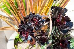 Succulent alpino Fotografia Stock Libera da Diritti