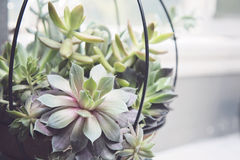 Succulent Basket Royalty Free Stock Photography