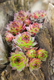 Succulent. Beautifull succulent on wooden stump royalty free stock photos