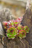 Succulent Stock Image