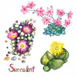 Succulent blooming collection, Fenestraria rhopalophylla - Baby`s Toes, Pleiospilos compactus, kwaggavy. Hand painted watercolor illustration with inscription royalty free illustration