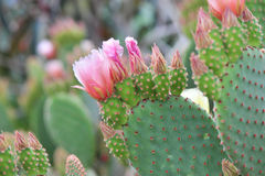 Succulent in Blossom. Opuntia in blossom. Tender pink flowers. Succulent family royalty free stock image