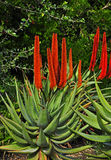 Succulent. In botany, succulent plants, also known as succulents or sometimes water storage plants, are plants that have some parts that are more than normally Royalty Free Stock Images