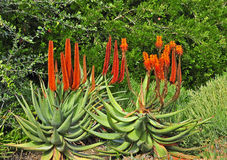 Succulent. In botany, succulent plants, also known as succulents or sometimes water storage plants, are plants that have some parts that are more than normally Stock Image