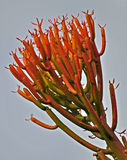 Succulent. In botany, succulent plants, also known as succulents or sometimes water storage plants, are plants that have some parts that are more than normally Stock Photo