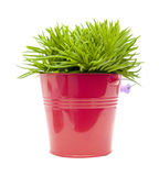 Succulent bush senecio Stock Photography