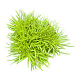 Succulent bush senecio Royalty Free Stock Images