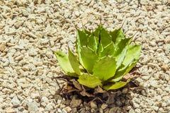 Succulent cactaceae detail photograph. Detail photograph of some succulent cactaceae royalty free stock photo