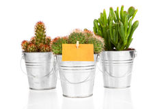 Succulent cactus Royalty Free Stock Images