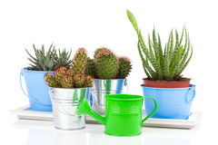 Succulent cactus in a metal bucket Royalty Free Stock Images