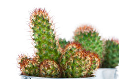 Succulent cactus in a metal bucket Royalty Free Stock Photography