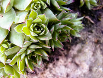 Succulent Cactus Plant Stock Image