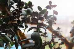 Succulent, cactus, plant, greenery, Crassula, foliage, trunk, comfort, brute, money tree, light, dawn. A large indoor plant Crassula stands on the windowsill royalty free stock images