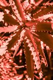 Succulent cactus plant toned in living coral color stock photography