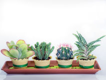 Succulent cactus plants in a rectangular vessel. White background Royalty Free Stock Photo