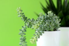 Modern minimalist home decor. Succulents on a solid color copy space. Succulent and cactus in a white flower pot on a solid color background with copy space stock photos