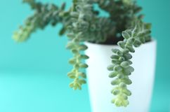 Modern minimalist home decor. Succulents on a solid color copy space. Succulent and cactus in a white flower pot on a solid color background with copy space stock photography