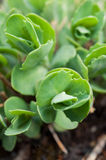 Succulent close up Stock Images