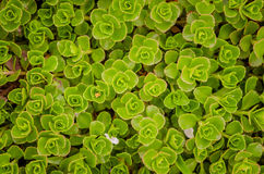 Succulent close up Royalty Free Stock Image