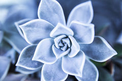 Succulent Royalty Free Stock Images