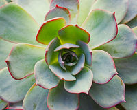 Succulent. Color close up photo of green succulent stock photo