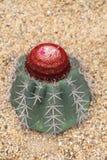 Succulent d'Echinocactus Grusonii Photographie stock