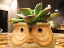 Succulent dans le pot de hibou photo stock