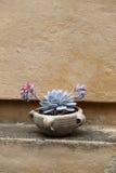 Succulent dans un pot de terre cuite Photographie stock libre de droits