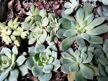 Potted succulent plant royalty free stock images