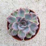 Succulent de Echeveria Foto de Stock Royalty Free