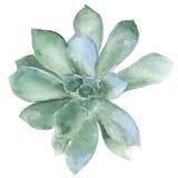Succulent de la acuarela Fotografía de archivo libre de regalías