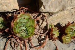 Succulent in de tuin Royalty-vrije Stock Afbeelding