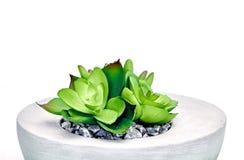 Succulent Decorative Plants Royalty Free Stock Photos