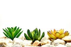 Succulent Decorative Plants. A studio photo of succulent decorative plants Royalty Free Stock Image