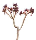Succulent del Aeonium Foto de archivo libre de regalías