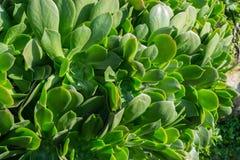 Succulent del Aeonium Foto de archivo