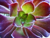 Succulent del Aeonium en cierre para arriba, tiro macro Fotos de archivo