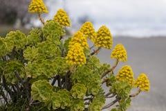 Succulent del Aeonium (simsii del Aeonium) Fotos de archivo libres de regalías