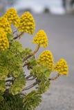Succulent del Aeonium (simsii del Aeonium) Imágenes de archivo libres de regalías