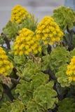 Succulent del Aeonium (simsii del Aeonium) Foto de archivo libre de regalías