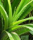 Succulent dell'aloe Fotografia Stock Libera da Diritti