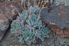 Succulent in der Blume Lizenzfreie Stockfotos