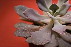 Succulent drops Stock Photo