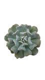 Succulent Echeveria кубический Frost изолированный на белой предпосылке Стоковое Изображение