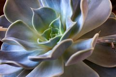 Succulent echeveria green plant Royalty Free Stock Images