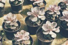 Succulent echeveria group stock image